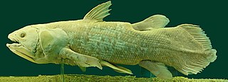 Coelacanth order of fishes