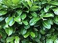 Laurel bush Lauraceae.jpg