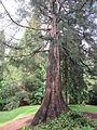 Laurelhurst Park, Portland - Giant Sequoia 2012.JPG