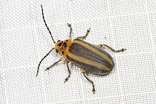 <i>Derospidea</i> Genus of beetles