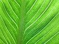 Leaf of calla lily.jpg