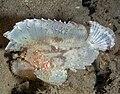 Leaf scorpionfish.jpg