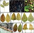 Leaf spot symptoms (10.3897-mycokeys.81.67850) Figure 14.jpg