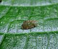 Leafhopper wing - Flickr - gailhampshire.jpg