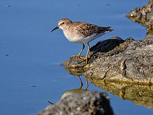 Sandpiper - The least sandpiper is the smallest species of sandpiper
