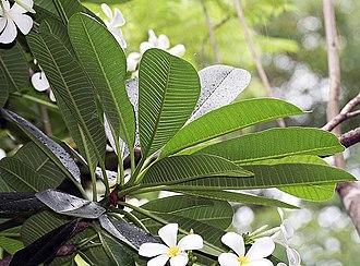 Plumeria obtusa - Leaves in Kolkata, West Bengal, India.