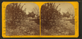 Lemon, fig, and banana, from Robert N. Dennis collection of stereoscopic views.png
