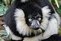 Lemur (26618916687).jpg