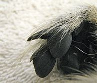 Close-up of a ring-tailed lemur's toes, showing a claw-like nail on the second toe (compared to the nail on the third toe next to it)