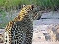 Leopard - South Africa Safari - Djuma Game Reserve - Sabi Sand - Kruger National Park (5588253354).jpg