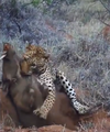 Leopard Kills Warthog in Burrow Latest Wildlife Sightings HD 2.png