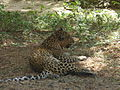 Leopard in Sanjay Gandhi National Park.JPG