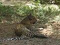 Leopard in Sanjay Gandhi National Park.JPG