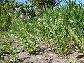 Lepidium campestre - field pepperweed - Flickr - Matt Lavin (5).jpg