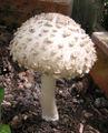 Lepiota rhacodes - shaggy parasol - large.JPG