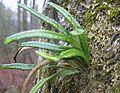 Lepisorus thunbergianus.jpg