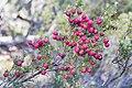 Leptecophylla juniperina var. parvifolia - Walls of Jerusalem.jpg