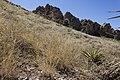 Leptochloa dubia - Flickr - aspidoscelis (1).jpg