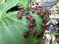 Leptocoris vicinus 15900125.jpg