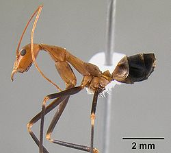 Leptomyrmex darlingtoni casent0012024 profile 1.jpg