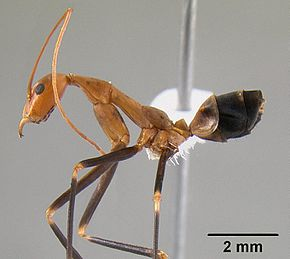 Leptomyrmex darlingtoni