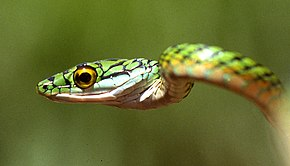 Description de l'image Leptophis ahaetulla.jpg.