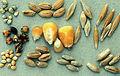 Les Plantes Cultivades. Cereals. Imatge 119.jpg