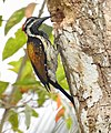 Lesser Flameback woodpecker 3 (Dinopium benghalense)നാട്ടു മരംകൊത്തി .jpg