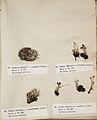 Lichenes Helvetici I II 1842 022.jpg
