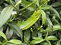 Life Along The Highway - Oleander Hawkmoth Caterpillar.jpg