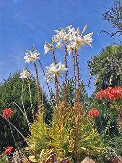 Liliaceae - Lilium candidum-1.jpg