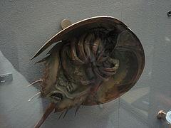 Limulus polyphemus 03 by Line1.jpg