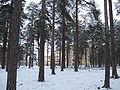 Lintula pine trees.JPG