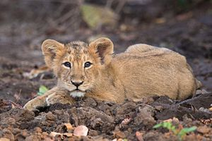 Wildlife of Iraq - Image: Lion Cub at Gir Forest