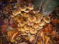 Lisse - Keukenhofbos - Echte honingzwam (Armillaria mellea).jpg