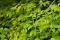 Lithospermum latifolium - Flickr - aspidoscelis (1).jpg