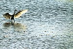 Little Egret - RSPB Fowlmere (19014496750).jpg