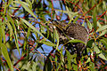 Little wattlebird looking for food.jpg