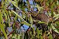 Little wattlebird looking for food.jpg