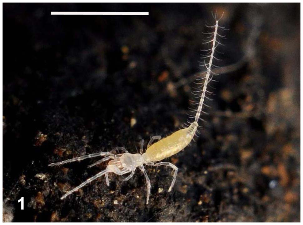 Live Eukoenenia spelaea in its cave habitat