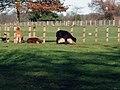 Llamas (2084553980).jpg