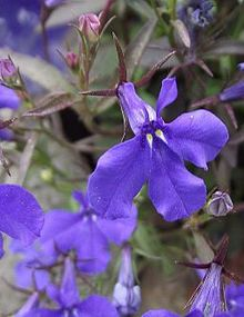 Lobelia erinus wikipedia la enciclopedia libre for Planta venenosa decorativa
