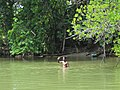 Local in the water (7567732902).jpg
