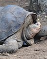 Lonesome George - Pinta Island Tortoise (4806855210).jpg