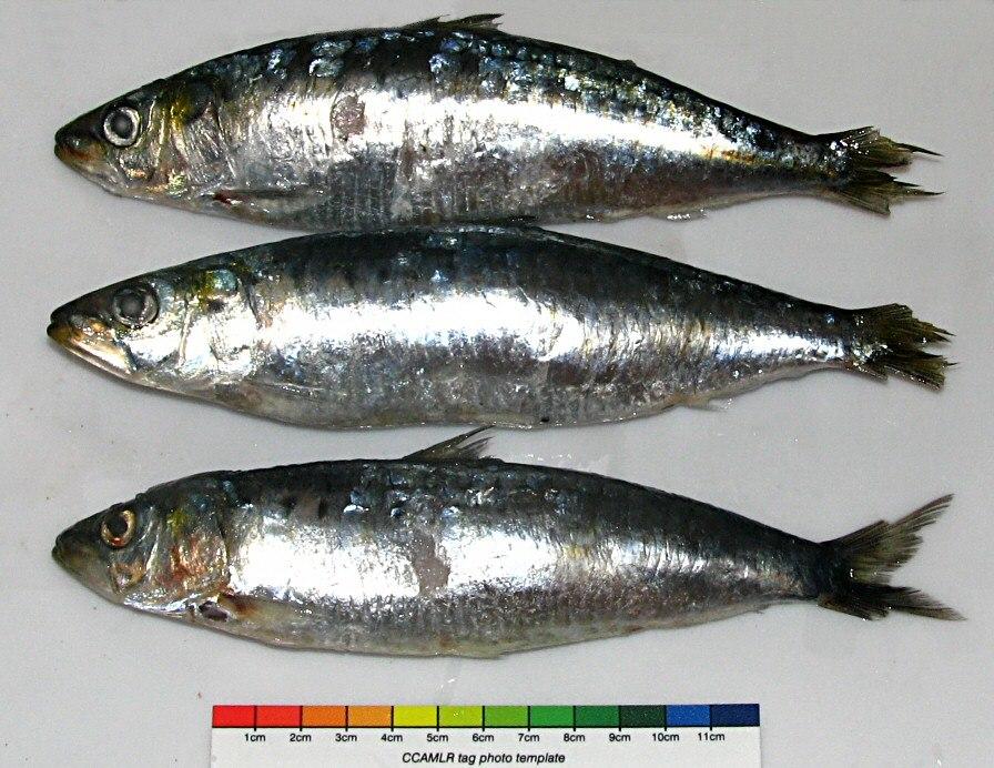 Longline bait sardina for toothfish