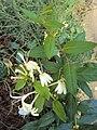 Lonicera japonica 10a.JPG