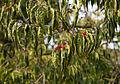 Lonicera maackii - feuilles et fruits.jpg