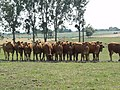 Lucé-sous-Ballon (Sarthe) paysage avec vaches (02).jpg