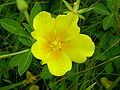 Ludwigia peploides 2.JPG