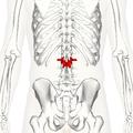 Lumbar vertebra 2 posterior2.png